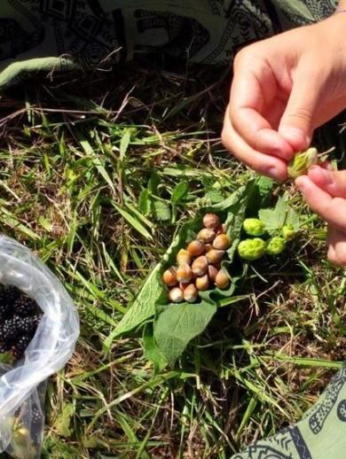 Récolte de noisettes et de mûres