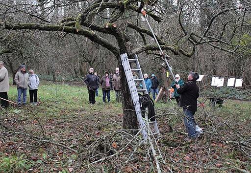 Restructuration des arbres fruitiers par la taille