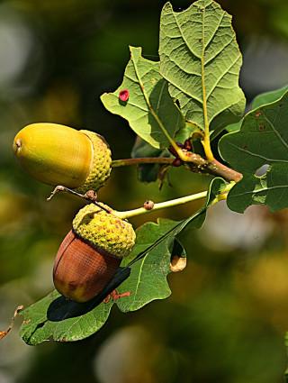 Atelier nature le châtaignier, le chêne et leurs usages