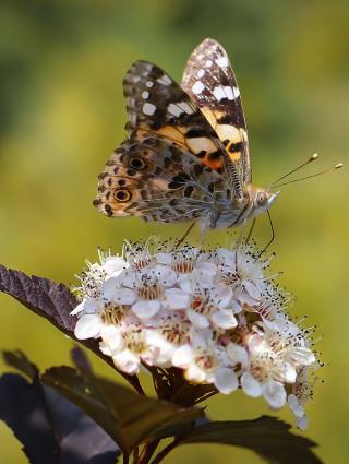 À la rencontre des papillons de l'Arc boisé