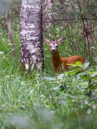 Cerf dans le massif forestier de l'Arc Boisé, crédit photo : Alain Bachellier