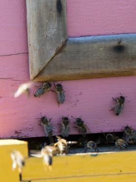 Visite du rucher de Grosbois dans le massif de l'Arc boisé