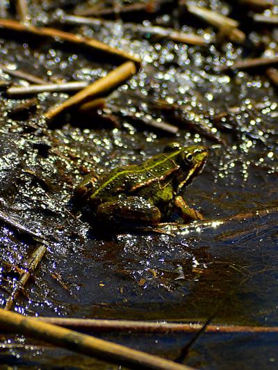 Découverte des amphibiens en forêt et de nuit pendant les rendez-vous de l'Arc boisé
