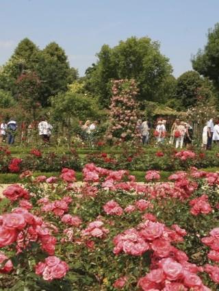 La roseraie, pas loin du jardin parisien à L'Haÿ-les-Rose (Djamila Calin)