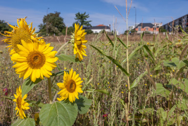 tournesols, agriculture biologique au parc des Lilas