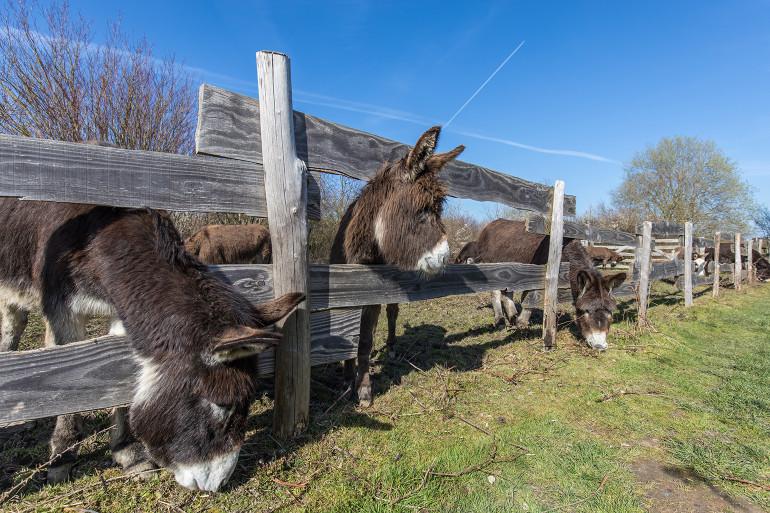 L'élevage d'ânes de la Plaine des Bordes ; crédit photo : E. Legrand