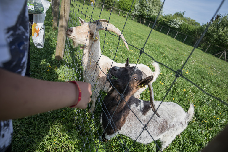 Chèvres au parc départemental des Lilas ; crédit photo : E. Legrand
