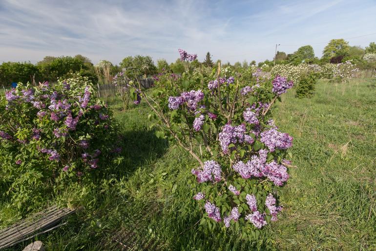 Les lilas qui ont donné leur nom au parc départemental ; crédit photo : E. Legrand