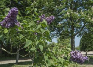 Les lilas de la pépinière départementale du Val-de-Marne