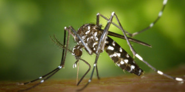 Le moustique tigre ; crédit photo : WikiImages / Pixabay