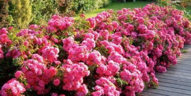 L'avenue sera végétalisée par des rosiers avant une replantation progressive des arbres d'alignement.