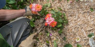 initiation au bouturage et au greffage des rosiers à la Roseraie du Val-de-Marne