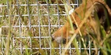 Plusieurs renardeaux relâchés dans la nature